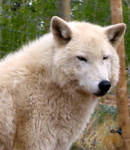 Tranquil Arctic Wolf by ChinookWolf