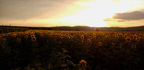 Sunflower Solstice by StudioSokki