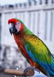Hyrid Macaw by bagoestm