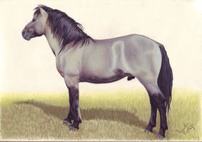 Konik stallion on the lookout by LindaColijn