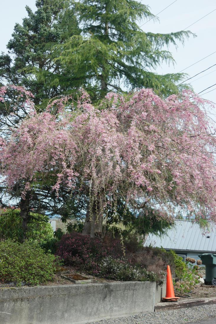 Flowering Cherry Tree by jkrolak