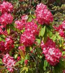 The Rhodies in bloom