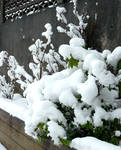 Snow bushes in bloom