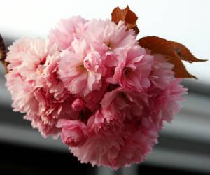 Sakura ball