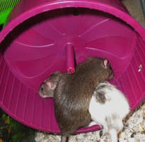 2 rats, 1 wheel by purpledragonmaster