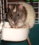 eating in the bowl---gizmo