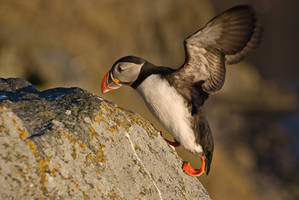 Atlantic Puffin 4 by netrex