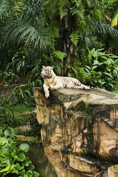Mohan White Tiger