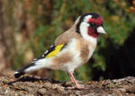 A Needle felted Goldfinch 2 by Hillamer