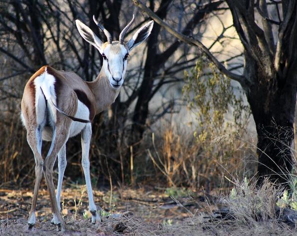 Springbok by enohla