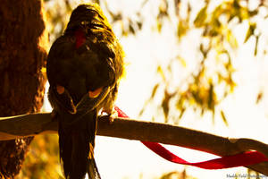 Pet Photography - Killian (Scaly-Breasted Lorikeet