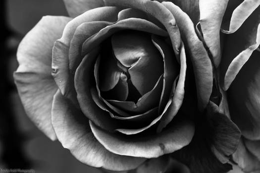 Orange Rose Black and White