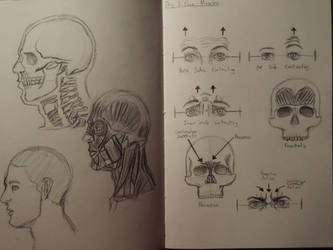 Day 2 and 3: More Skulls and Face Muscles