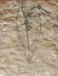 Rhamphorhynchus plaque