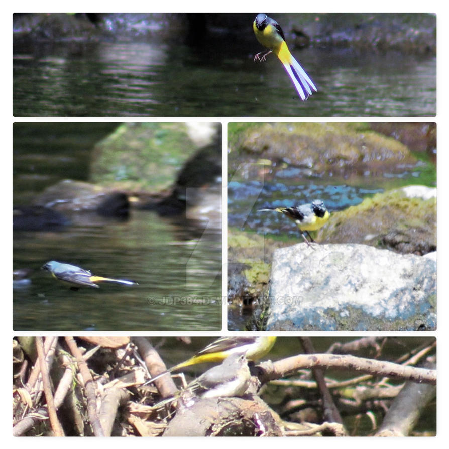 Wagtails Collage by JDP384