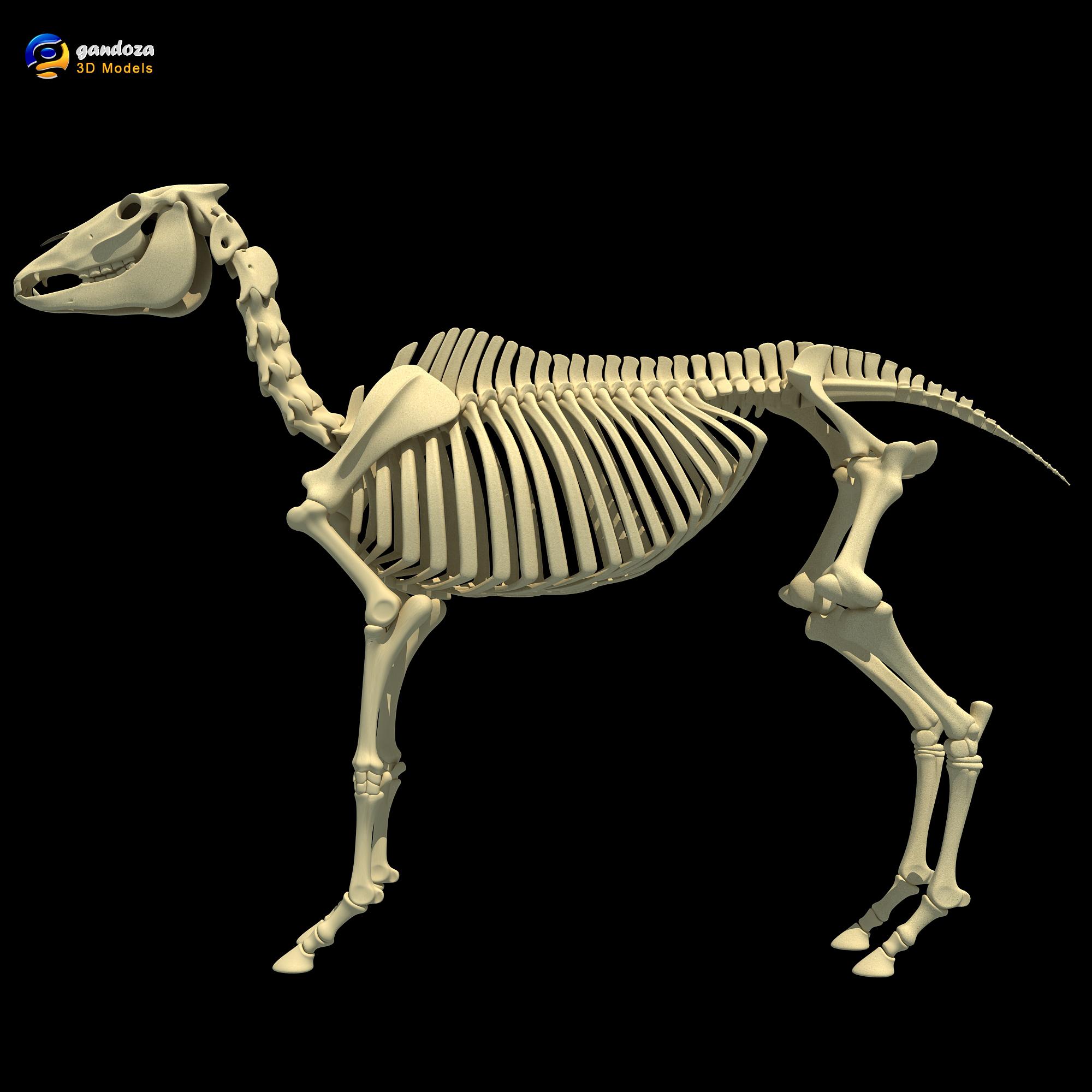 3D Models | Horse Skeleton by Gandoza