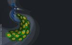 Peacock - Vector Art