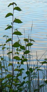 Waterside Plant