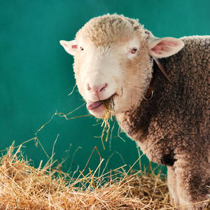 sheep by secret-mirror