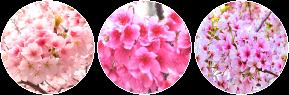 Sakura circle divider by SileentDo
