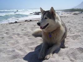Husky Lying on the Beach by InfuriatedAngel