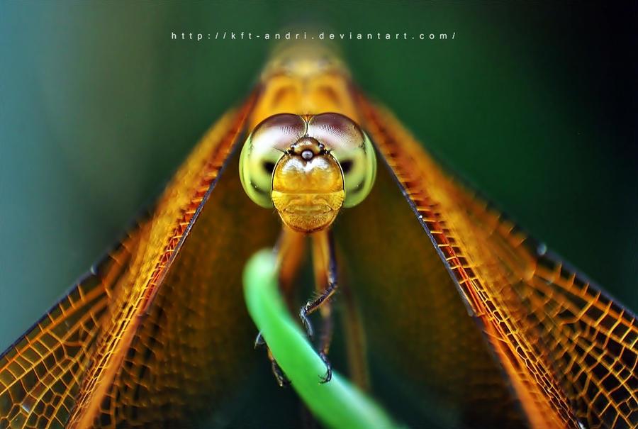 capung oranje by KFT-Andri