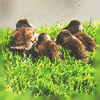 baby ducklings icon by umi-pryde