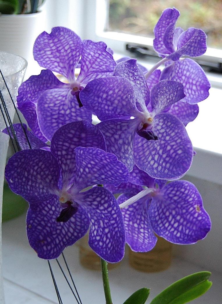 Vanda Orchid Blue Magic by Mararda