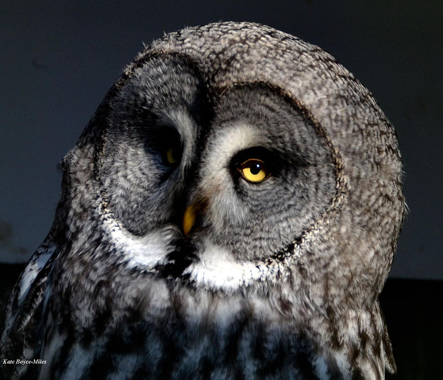 Great Grey Owl by Mararda