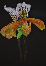 Paphiopedilum Jersey Freckles by Mararda