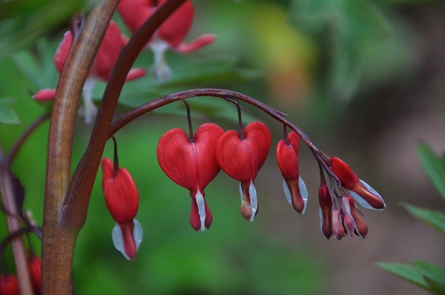 my bleeding heart by mararda on deviantart, Natural flower