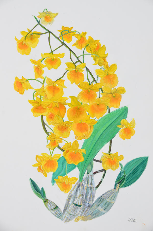 Dendrobium lindleyi watercolour by Mararda