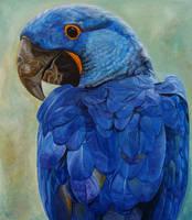 Hyacinth Macaw by Mararda