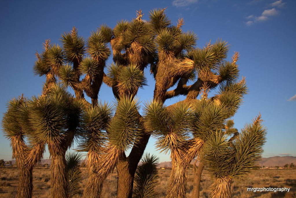Joshua trees by MrGutierrez