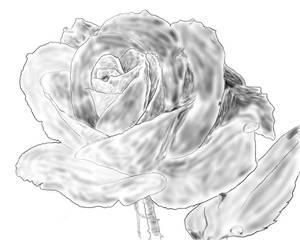 Still Life of a Rose