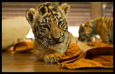 tiger cub on monk robes by amigaboi