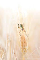 spider in corn by sadangel