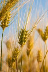 corn by sadangel