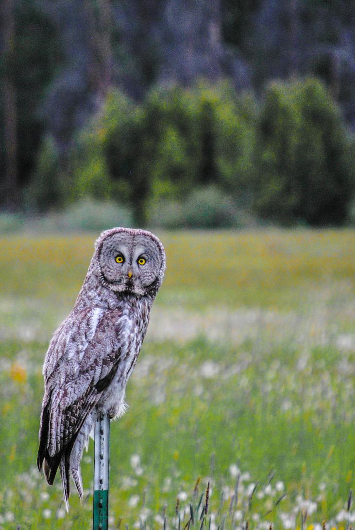 Mr. Owl by pocketartistbre