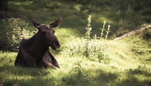- Moose -