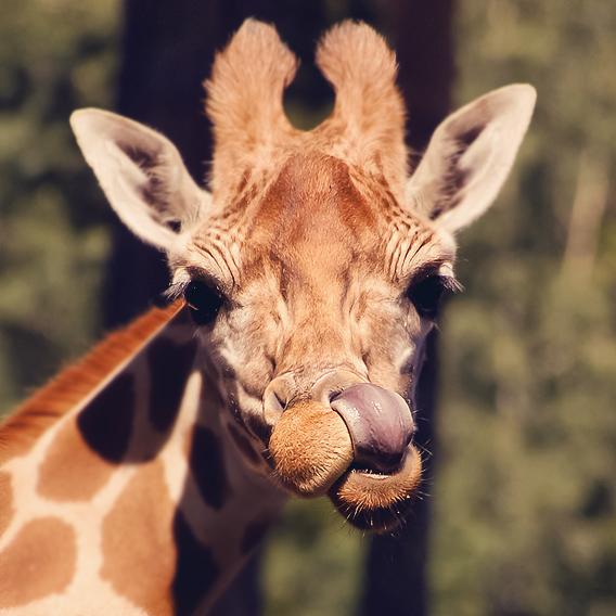 Giraffe by S1ghtly