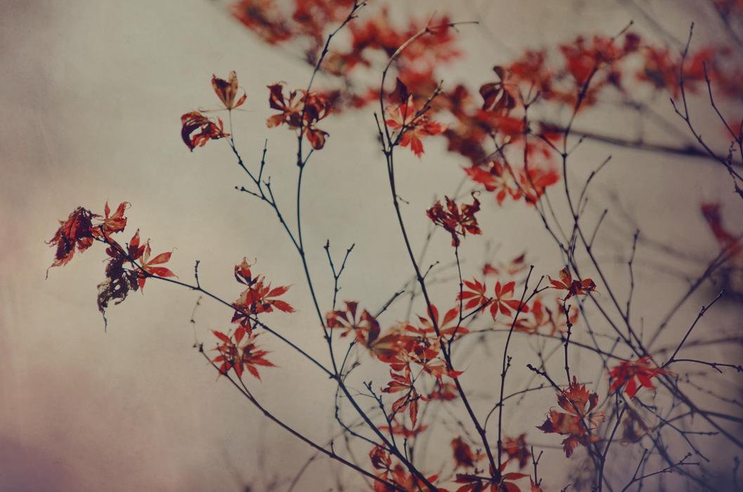 Maple Leaves by EmiNguyen