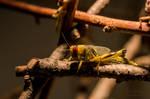 Locusts behind bars ...