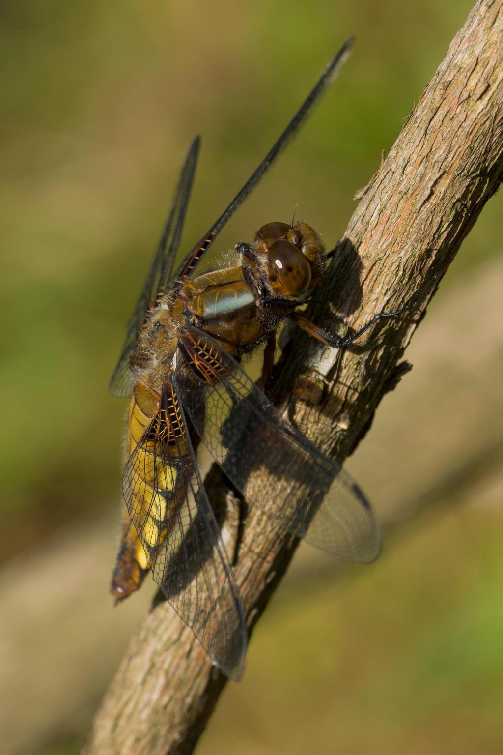 Macro Monsters: monster dragonfly(01)
