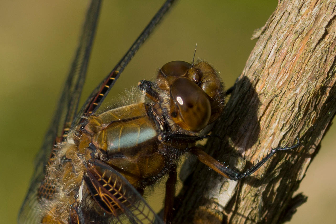 Macro Monsters: monster dragonfly(02)