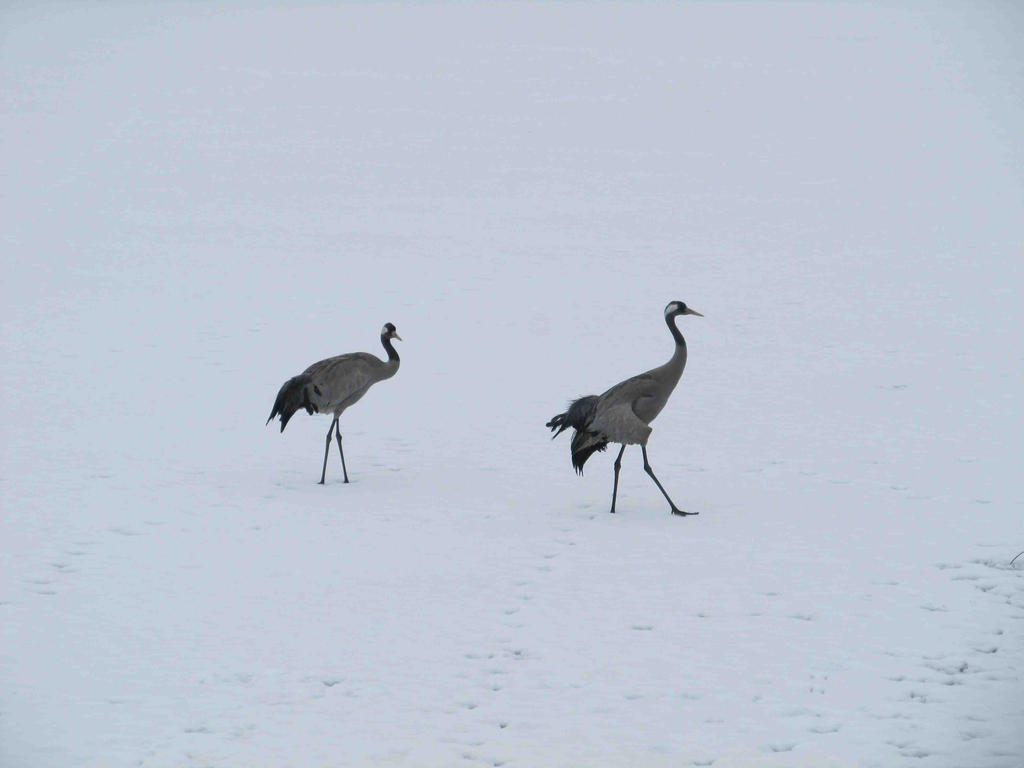 Cranes in the snow by ReveveR