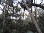 Florida Forest 2