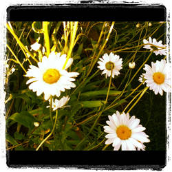 Daisies by sunnyellow16