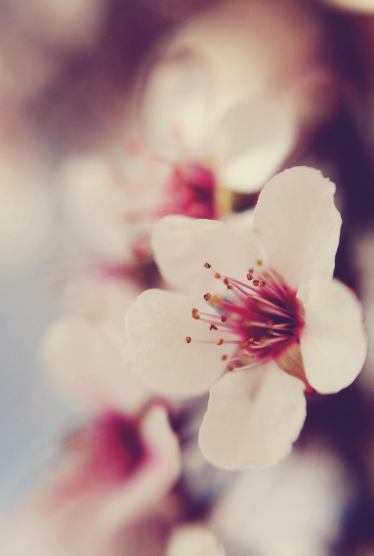 Sakura III by HelloKimmy13