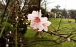 peach_blossom_1280x800